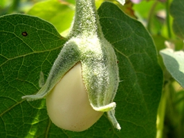 B_Get_In_The_Garden_Eggplant