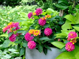 C_BG Garden's Sunrise Rose Lantana