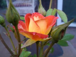 Miniature Rose - Tiddlywinks  from the RedneckRosarian