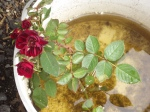 A rose blooms fora week when soaked in manure tea