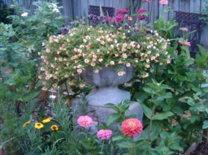 redneck rosarians lush summer garden helped by manure tea