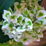 Hydrangeas fed with manure tea