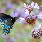 Manure Tea Works for Butterfly Gardening too